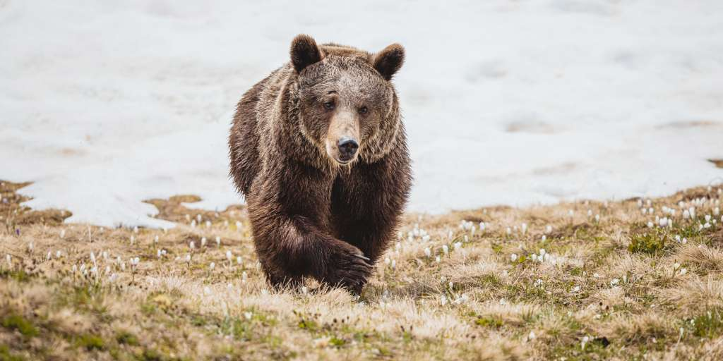 Here he explores the bear that was rescued Gambolina Arosa for the first time