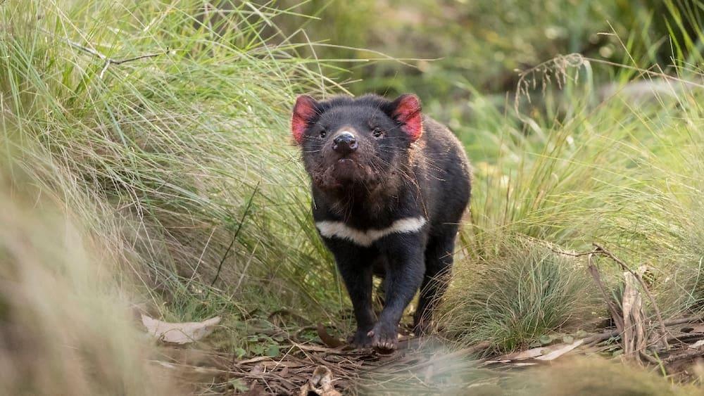 Australia: Tasmanian Devils are born on the mainland