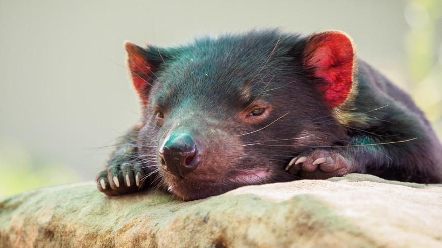The Tasmanian Devil is born in mainland Australia