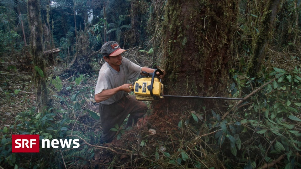 Endangered Primeval Forests - Deforestation in the Amazon continues at a record level - News