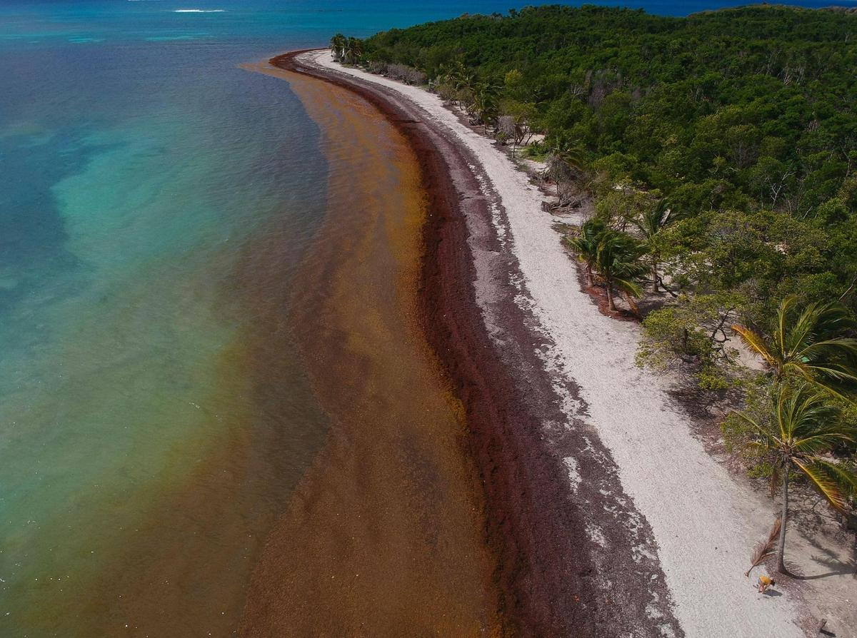 Dense network of Sargassum algae on Guadeloupe beach in the Caribbean.