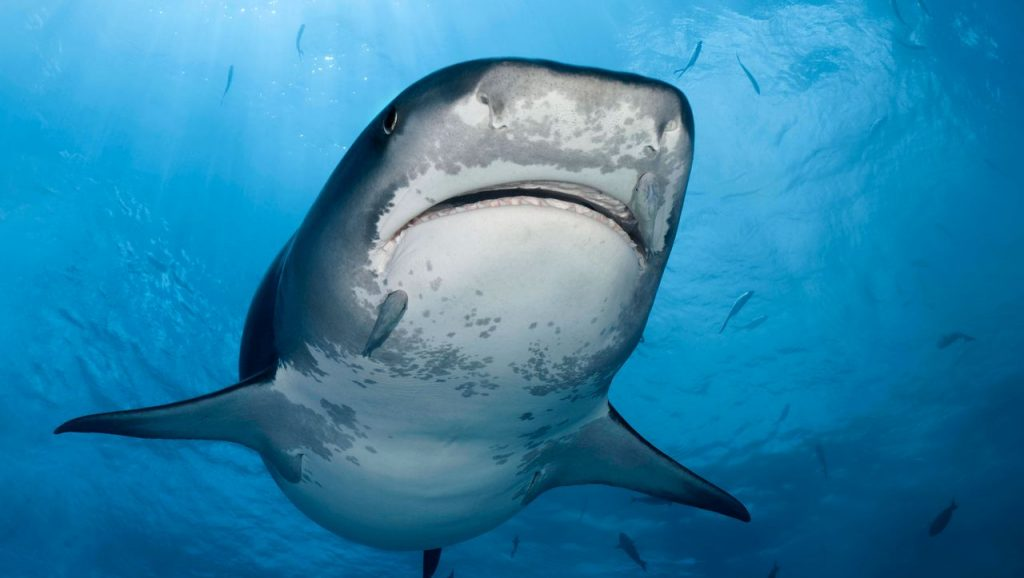 Japan: Researchers discover oldest known victim of shark attack