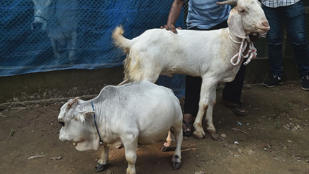 Thousands of people want to see a baby cow break the record in Bangladesh