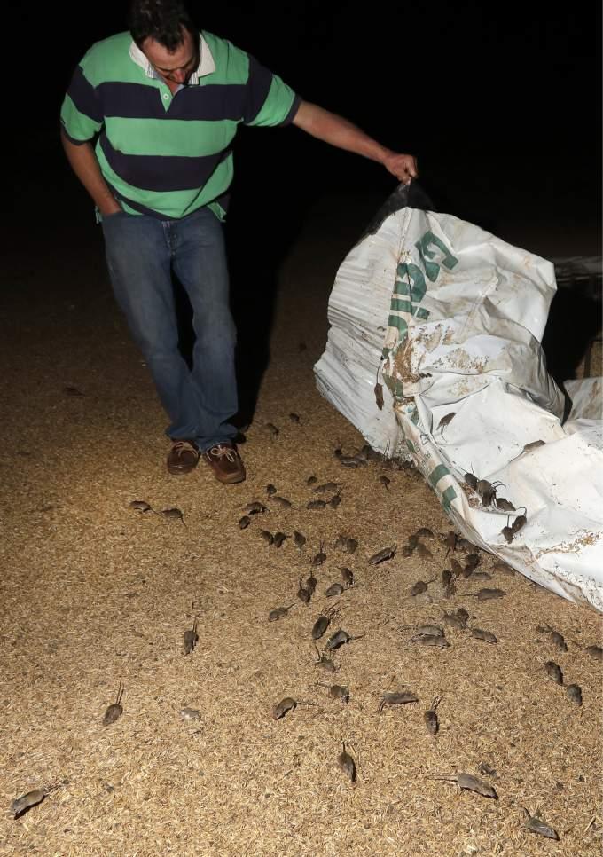 Australian mouse plague