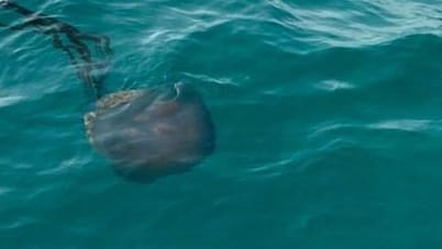 Mallorca: Swimmers discover giant jellyfish in the water
