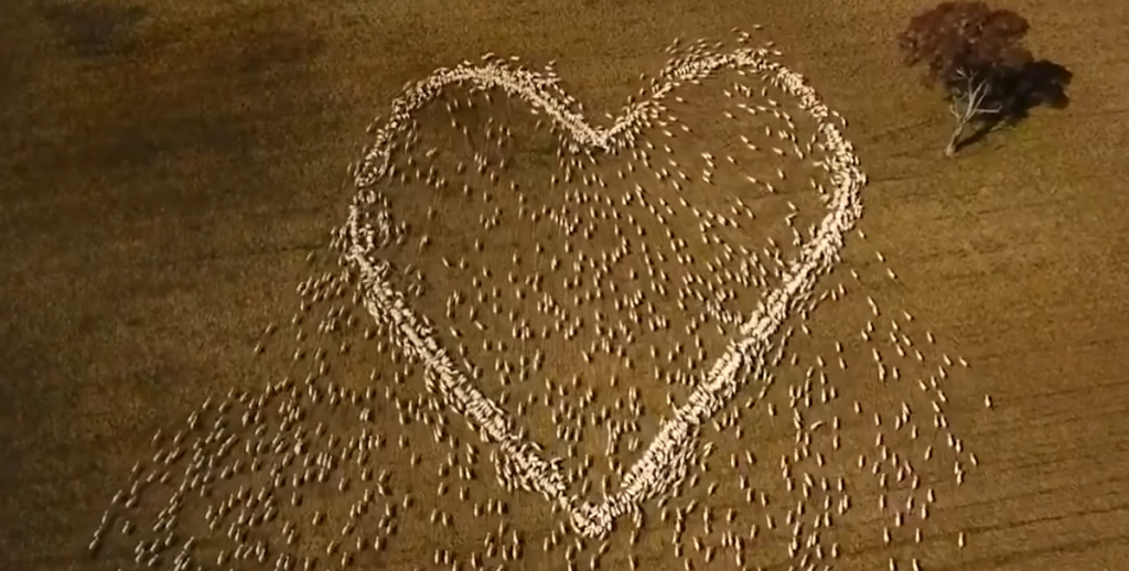 The farmer stirs the net - a heart made of lamb as a final salute to the sick aunt