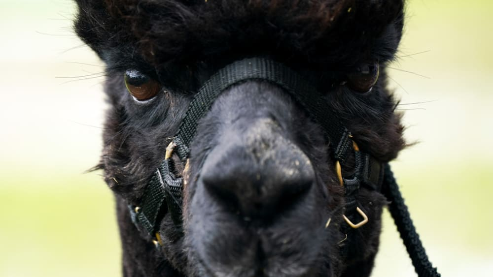 The sick alpaca, Geronimo, is supposed to die.