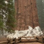California wildfires – the world's largest tree is in danger