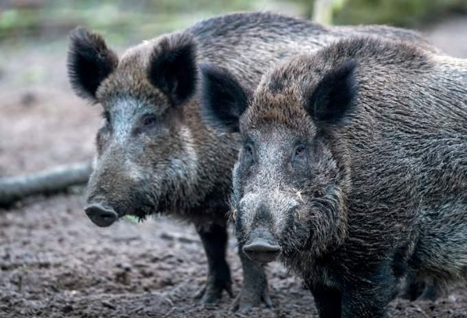 Shakira wild boar